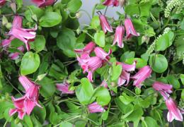 クレマチス(テッセン)は和洋両方で楽しめる花です。